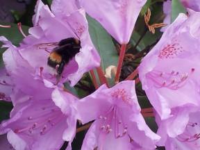 Blomst med humle som drikker nektar
